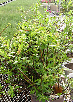 Willow cuttings from Eastern Slopes Rangeland Seeds Ltd.